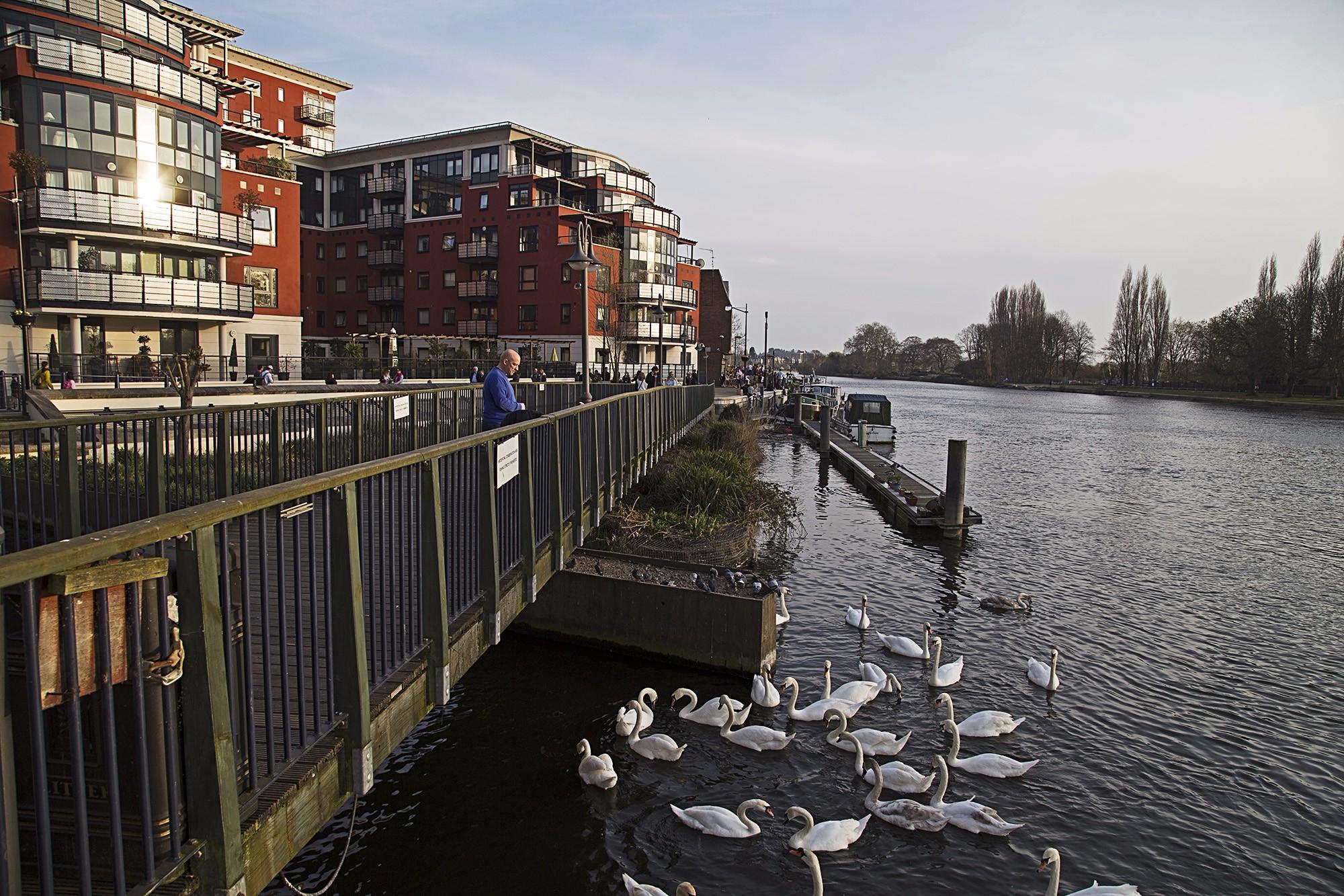 Kingston-swans-thames