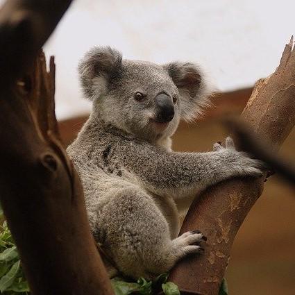 koala-3055832_640-squ